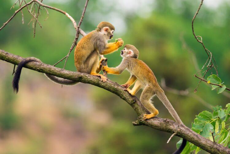 con khỉ đại cho tuổi Thân