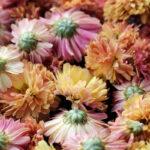 Hoa cúc được dùng giúp làm thanh nhiệt, mát gan trong đông y