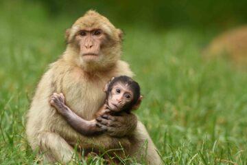 Con khỉ đại diện tuổi Thân là người giàu có