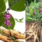 Các phương thuốc chữa bệnh từ cây sắn dây mà bạn cần biết