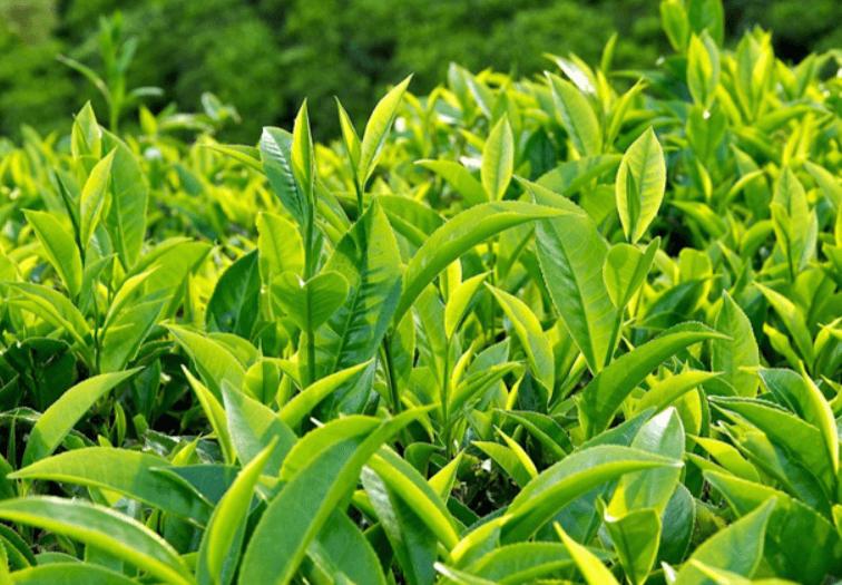 Lá trà xanh rất giàu catechin và quercetin